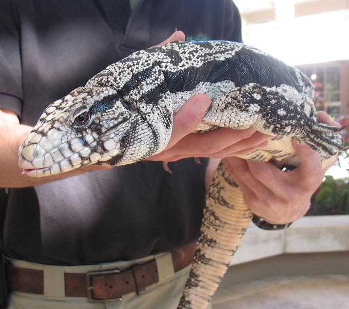 black and white tegu